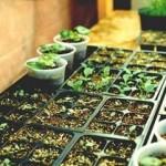 Выращивание табачной рассады семенами